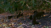 Troop Of Crested Black Macaques On Beach Near Tree Line