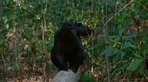 Crested Black Macaque Sat On Fallen Tree Gets Up And Starts Moving Away