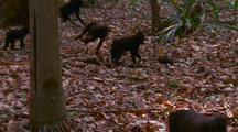 Troop Of Crested Black Macaques Walking Through Forest
