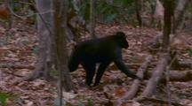 Male Crested Black Macaque Walks R Stops On Fallen Tree And Calls