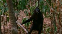 Crested Black Macaque Sat In Tree Scratches Chin Then Looks Up
