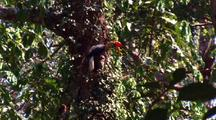 Male Knobbed Hornbill Lands On Tree Regurgitates Figs, Pass Them To Nest Hole