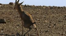 Indian Gazelle Defecating