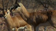 Indian Gazelle Standing, Second Gazelle Walks Past