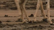 Wild Asses Legs And Hooves, Walking Past Camera