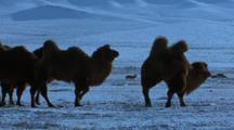 Bactrian Camels Walk Left To Right, Grazing On Snowy Ground