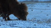 Bactrian Camels Grazing On Snowy Ground