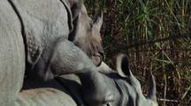 Male Indian Rhino On Back Of Female