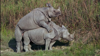 Male Indian Rhino Thrusts Into Female