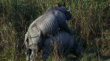 Two Indian Rhinos Mating, Male On Top Of Female Walking Forward
