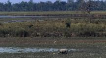 Indian Rhino Browsing On Mud