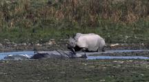 Indian Rhino Walking Past Two Others Wallowing In Mud