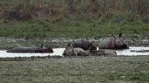Wallowing Indian Rhinos Get Startled, Stand Up.
