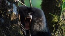 Lion-Tail Macaque In Tree Yawns