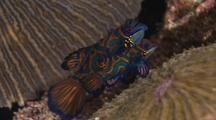 Two Mandarinfish Swimming Above Coral, Courting