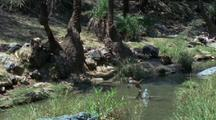 Japanese Macaques Jump In And Out Of Waterhole, Try To Jump On Eachother