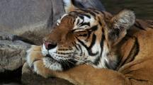 Tiger Dozes In Waterhole, Head On Paw. The Eyes Flicker Open.