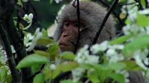 Japanese Macaque In Tree Eating Flowers