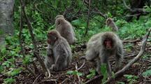 Japanese Macaque Group Sitting In Forest, One Appears To Masturbate, Another Rests Head On Tree Trunk Then Walks Out Of Frame