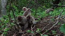 Japanese Macaque Joins Group Sitting In Windy Forest, Snuggles Cuddles Up To Another, Scratches Head With Hind Foot. Japanese Macaque In Background Shakes Tree