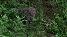 Mother Japanese Macaque Forages In Long Grass, Baby Hanging Onto Tummy, Walks L-R Towards Frame Exit