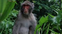 Mid Shot Japanese Macaque Sits In Bush Looking Around