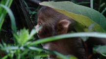 Baby Japanese Macaque Explores Undergrowth, Walking R - L