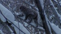Japanese Macaque Climbing Drops From Branch To Branch In Snowy Forest