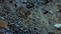 Snow Leopard Descends Rocky Slopes. Chases Bird Momentarily, Then Disappears Into Crevasse