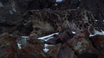 Snow Leopard Jumps Up Snowy Cliff Face, On The Prowl