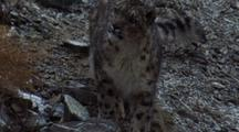 Snow Leopard Stalking, Walking Downwards On Scree Slope