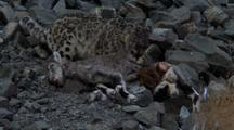 Snow Leopard Feeds On Bharal