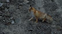 Red Fox Crosses Scree Slope