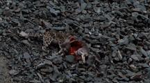 Snow Leopard Tries Very Hard To Drag Carcass Up Scree. Stops For A Rest