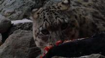 Snow Leopard Feeds On Bharal Carcass