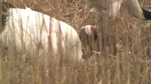 Nesting Crane With Partner, Stands And Pecks At Ground In Reeds, Sits Down Again