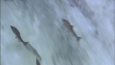 Group Of Salmon Leaping Up Waterfall