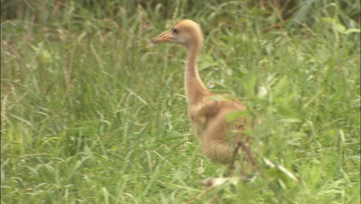 Crane Chick Runs Through Reeds