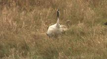 Crane And Juvenile Crane Stand In Long Grass Together