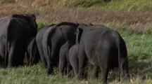 Pan R - L Herd Of Elephants With Bums To Camera