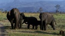 Juvenile Elephants Scamper R - L To Join Herd