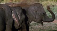 Mws Elephant Throws Dirt And Grass Over Itself