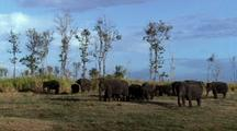 Large Herd Of Elephants Browsing By Scrub