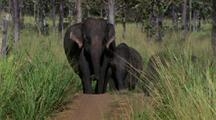 Elephants Walk Through Long Grass Toward Camera
