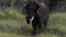 Tusked Bull Elephant Sways From Side To Side