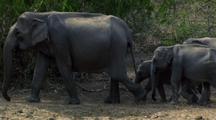 Cow Elephant And Three Babies Walk R - L
