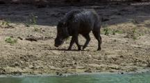 Wild Boar Walks Up To Another At Waterhole
