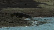 Crocodile Slinks Into Water