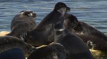 Mws Group Of Seals Bathing On Rocks,