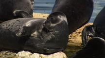 Seal On Rocks Getting Comfy, Shakes Flippers